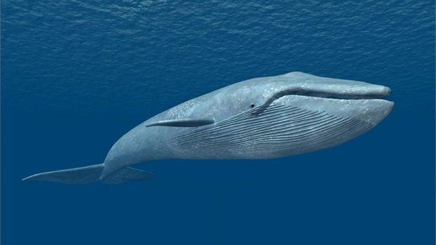 12 metrlik nəhəng balinanın ölüsü sahilə çıxdı – FOTO