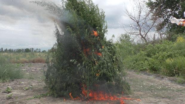 Zaqatalada beş ton narkotik vasitə məhv edildi – FOTO